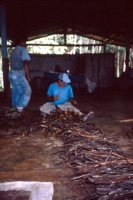 Men preparing jugube vines for Daime tea